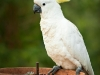 Sulphur Crested Cockatoo feeding at Tamborine Mountain Bed &amp; Breakfast