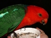 King Parrot feeding at Tamborine Mountain Bed and Breakfast