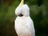 Sulphur Crested Cockatoo at Tamborine Mountain Bed &amp; Breakfast