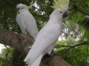 Sulphur Crested Cockatoos perched up high at Tamborine Mountain Bed &amp; Breakfast