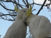 Sulphur Crested Cockatoos romancing at Tamborine Mountain Bed & Breakfast