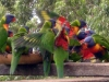 Rainbow Lorikeets in feeding frenzy at Tamborine Mountain Bed &amp; Breakfast