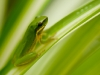 Green frog on leaf at Tamborine Mountain Bed and Breakfast