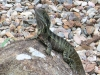 Handsome lizard at Tamborine Mountain Bed and Breakfast