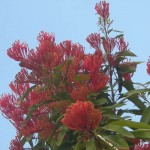 Queensland Waratah in full bloom in the gardens at Tamborine Mountain Bed and Breakfast