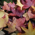 Lovely Autumn Colours on Tamborine Mountain