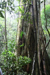 Towering Trees Tamborine Mountain National Park -