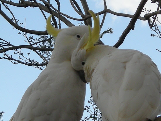 loving-cockatoos-tamborine-mountain-bandb