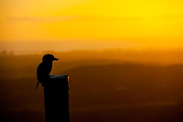 kookaburra-enjoying-sunrise-at-tamborine-mountain-bandbIMG_2626