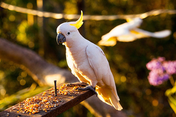 cockatoo-feeding-tamborine-mountain-bandb