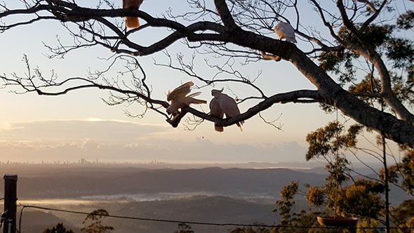 bird-guests-hanging-around-at-tamborine-mountain-bandb