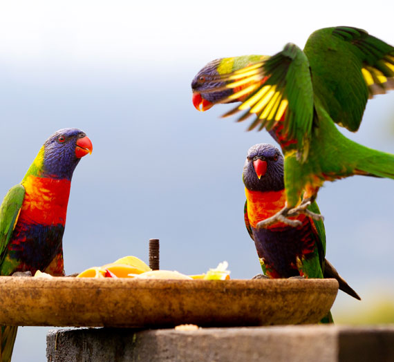 Lorikeets breakfasting at Tamborine Mountain B&B