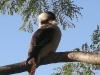 Kookaburra perched up high at Tamborine Mountain Bed and Breakfast