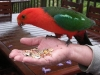 King Parrot hand feeding at Tamborine Mountain Bed & Breakfast