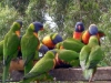 Rainbow Lorikeets feeding at Tamborine Mountain Bed & Breakfast