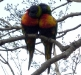 Rainbow Lorikeets romancing at Tamborine Mountain Bed & Breakfast