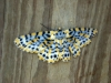 Beautiful moth at Tamborine Mountain Bed and Breakfast