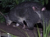 Possums playing at Tamborine Mountain Bed and Breakfast