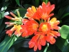 Clivia in bloom at Tamborine Mountain Bed and Breakfast