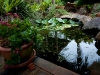 Frog lilly pond at Tamborine Mountain Bed and Breakfast