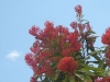 Queensland Waratah in bloom at Tamborine Mountain Bed and Breakfast Gardens